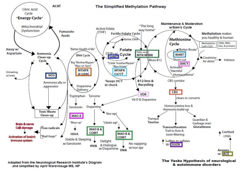 methylation pathway